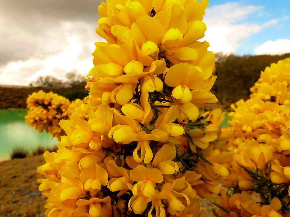 Yellow flowers ireland image collections flower decoration ideas yellow flowers ireland images flower decoration ideas yellow flowers ireland images flower decoration ideas yellow flowers mightylinksfo Images